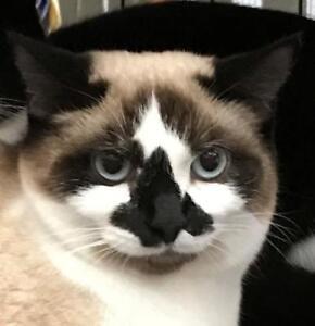 "Young Female Cat - Siamese: ""Wynona"""