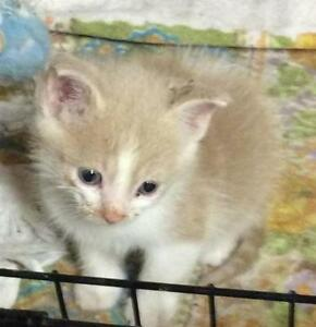 "Baby Male Cat - Domestic Short Hair - buff and white: ""Watusi"""