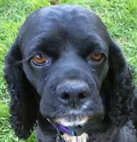 """Young Female Dog - Cocker Spaniel: """"Fiona~Foster Needed!"""""""