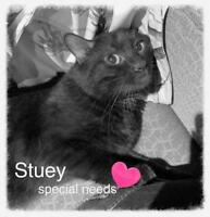"Adult Male Cat - Domestic Short Hair: ""Stuey"""