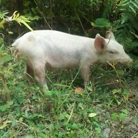 Yorkshire cross female pig