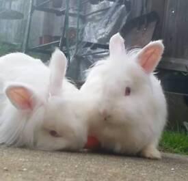 2 female lion head rabbits