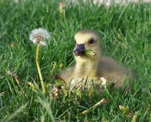 Looking for a gosling