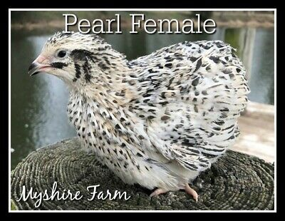 50 Rare Pearlsnowie Coturnix Quail Hatching Eggs By Myshire Our Top Rare Line