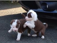 RED AND WHITE BORDER COLLIE PUPPIES