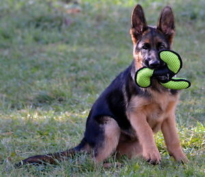 GERMAN SHEPHERD MALE PUPPY, BLACK AND RED, CKC REGISTERED,