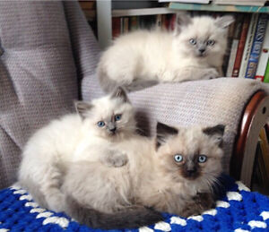 ADORABLE MALE HIMALAYAN KITTENS FOR SALE