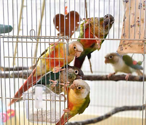 *♥☆♥ CONURE ♥ Babies with Cage and Food ♥☆♥*