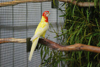 Rosellas for sale
