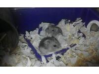 2 male Russian dwarf hamsters