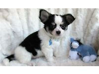 beautiful miniature chihuahua puppies