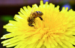 Bee Removal From YOUR Building Kitchener / Waterloo Kitchener Area image 1