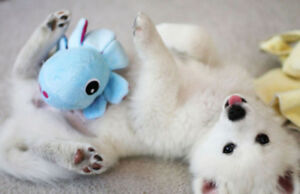 Adorable Miniature American Eskimo Puppies!