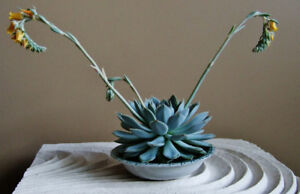 FLOWERING SUCCULENT PLANTED IN ANTIQUE CHINA SOAP DISH