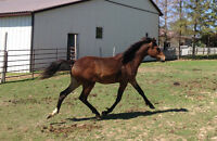 Reg. Section B Welsh yearling filly