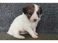 Jack Russell Pedigree puppies