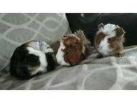 Baby guineapigs for sale