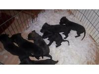 Lurcher pup for sale