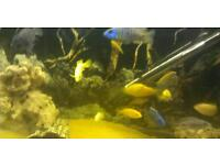 Cichilids complete fish tank