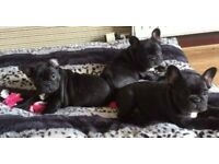 French bulldog puppies for sale scotland , kc registered