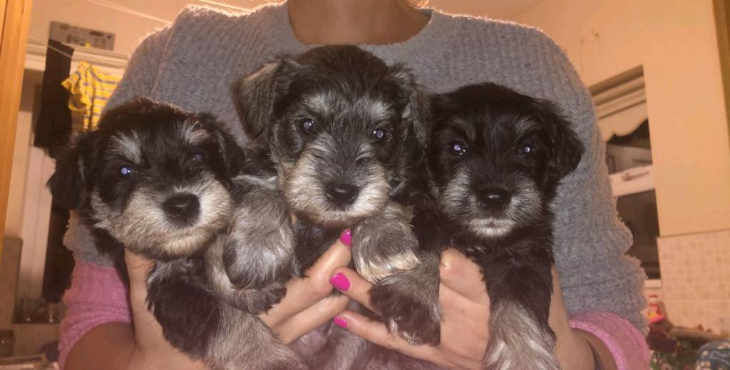 6 Miniature Schnauzers For Sale In Castlederg County Tyrone