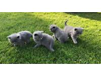 Beautiful CHUNKY British Shorthairs: FOR SALE