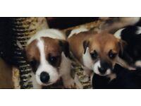 Stunning Jsck Russell puppies