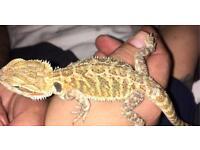 Bearded dragon baby