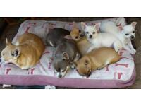 Kennel club Reg pure chihuahua puppy male