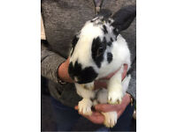 16 week old male English rabbit and cage for sale!