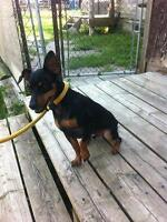 "Adult Male Dog - Miniature Pinscher: ""Pepe"""