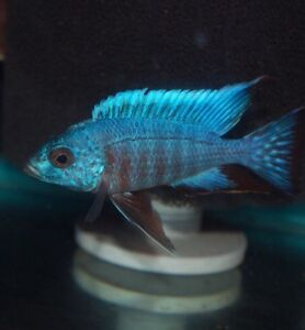 Adults & Fry big selection of African Cichlids !
