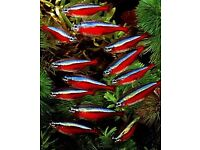 Cardinal Tetra x10 for sale live tropical fish