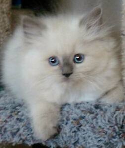 Looking for a ragdoll or Himalayan kitten