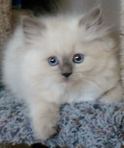 Wanted- looking for a female ragdoll kitten or young cat