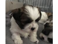 Malshi puppies ready soon. Only one wee boy left