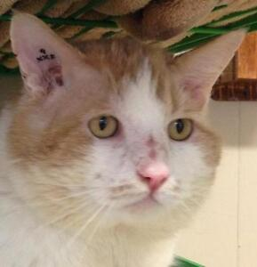 Young Male  - Domestic Short Hair - orange and white