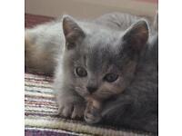 Chunky bsh kittens
