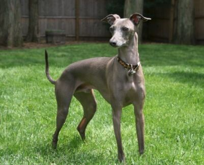 Wanted: WANTED: Italian greyhound