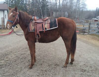 APHA two year old filly - Ground work done & started with saddle