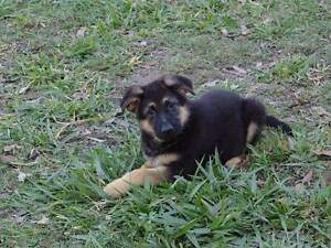 Real German Shepherd Purebred Puppies. Champion / Imported LInes Tanah Merah Logan Area Preview