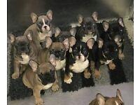 10 Stunning Quality French bulldog puppies