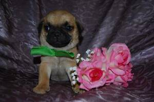 3/4 pug puppies, desexed and DNA cleared Sydney City Inner Sydney Preview