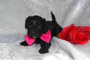 first generation female Cavoodle puppy