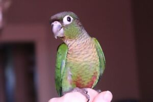 BABY CONURES GREEN CHEEKS, CINNAMON GREEN CHEEKS & PEARLY'S