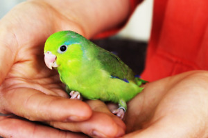 FRIENDLY PARROTLET BABY SPECIAL MANY COLOURS