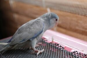 BLUE FALLOW MALE PARROTLET BABY