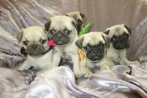 pug puppies from DNA tested parents