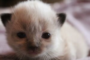 BEAUTIFUL RAGDOLL KITTENS AVAILABLE FOR RESERVATION