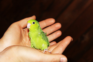 FRIENDLY BABY PARROTLETS